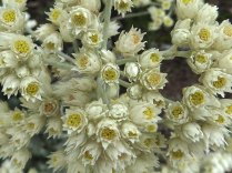 Helichrysum patulum (kooigoed)