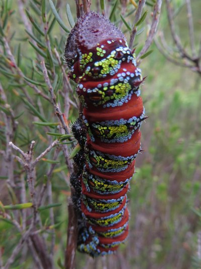 The caterpillar of the Pine Emperor moth (Imbrasia cytherea)