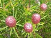 Leucodendron coniferum
