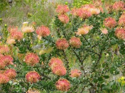 Leocospermum cordifolium