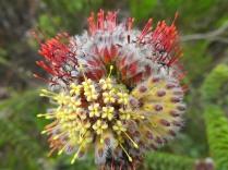 Leocospermum truncatulum