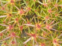 Leucadendron sp