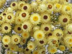 Syncarpha paniculata