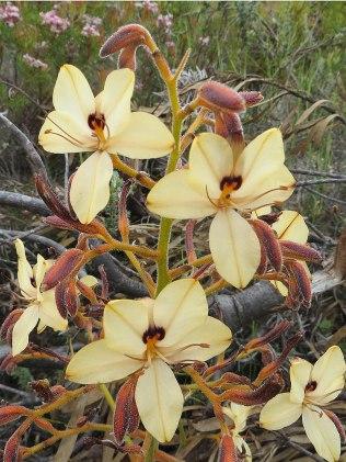 Wachendorfia paniculata