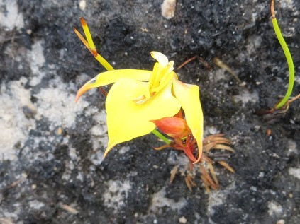 Disa tenuifolia