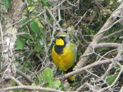 Bokmakirie, the ubiquitous De Hoop bird