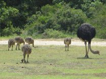 An Ostrich family outside our cottage