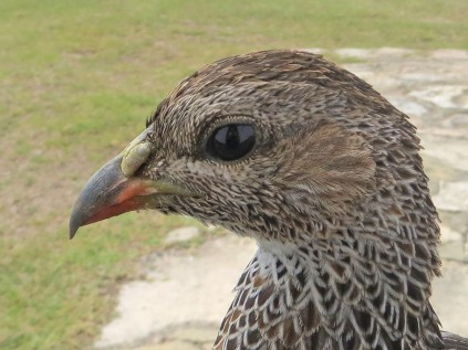 A Cape Spurfowl on our doorstep