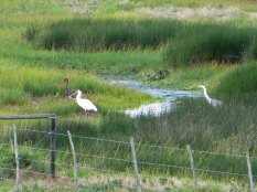 Black Stork, African Spoonbill and Grey Heron