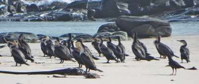 White-Breasted Cormorants at Agulhas