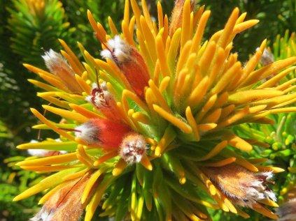 Retzia capensis