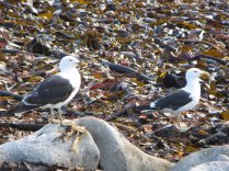 Kelp and Kelp Gulls