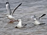 Hartlaub's Gulls at Intaka