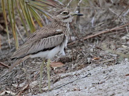 Water Thick Knee a Intaka