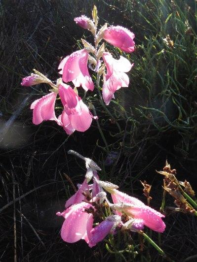 Gladiolus brevifolius