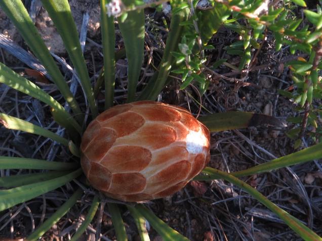 Protea scabra