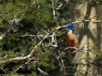 Half Collared Kingfisher
