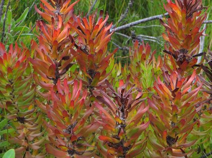 Mimetes looking autumny