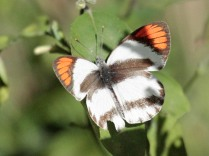 Smoky Orange Tip