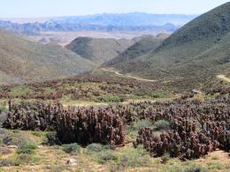 Aloe pearsonii on Helskloof pass