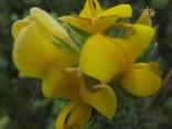 Aspalathus ciliaris