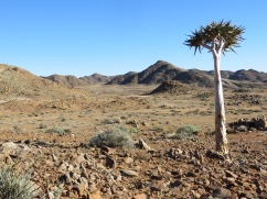 A lonely kokerboom