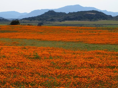A field of orange