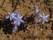 Lapeirousia sp.