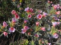 Lobostemum fruticosus