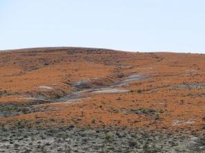 Teloschistes capensis (a lichen) near Alexander Bay