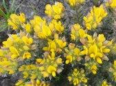 Aspalathus quinquefolia