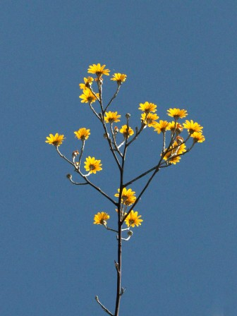 Othonia sp.