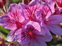 Pelargonium sp.
