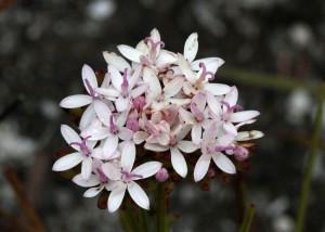 Corymbium sp.