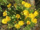Berkheya herbacea