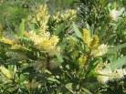 Brabejum stellatifolium (Wild Almond)