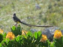 A disdainful Cape Sugarbird