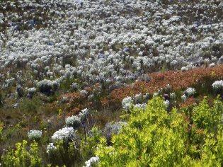 Fields of Syncarpha vestita