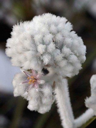Lanaria lanata