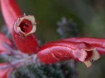 Erica massonii - detail