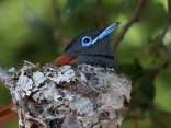 African Paradise Flycatcher on nest