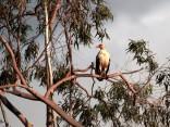 Palm Nut Vulture
