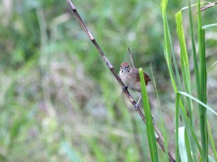 Moustached Grass-Warbler