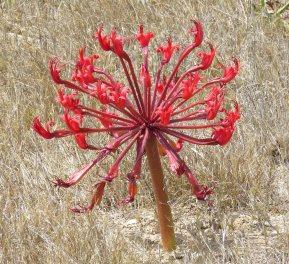 Brunsvigia orientalis