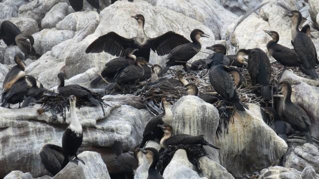 Cape and White-Breasted Cormorants