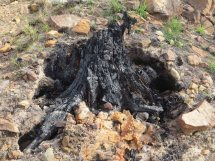 The burnt bole of a pine tree