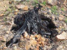 The burnt bole of a pine tree