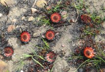 Protea scabra remnants