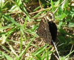 Dira clytus - the Cape Autumn Widow