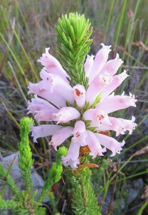 Erica vestita longifolia?